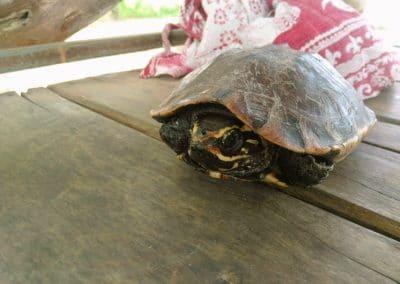 Une tortue chez Baan Mama