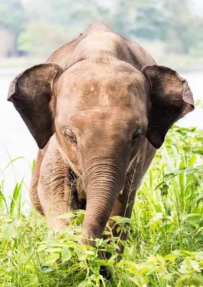 Tao Elephant